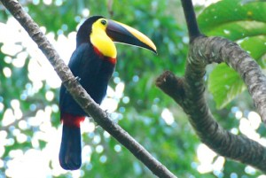 Toucans In Costa Rica
