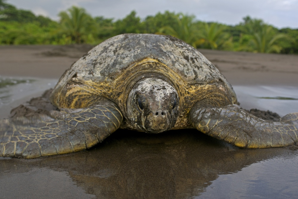 hawksbill-turtles-in-tortuguero