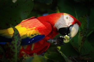 Scarlet macaw feeding on beach almond tree in Corcovado national park
